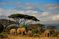 Löwe jagen in Tansania